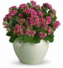 Plants: Bountiful Kalanchoe