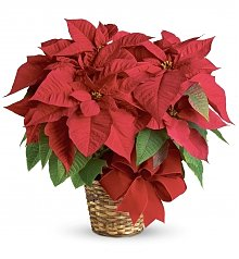 Plants: Red Poinsettia
